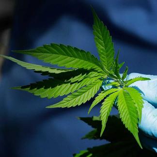 Cannabis Craft Growers